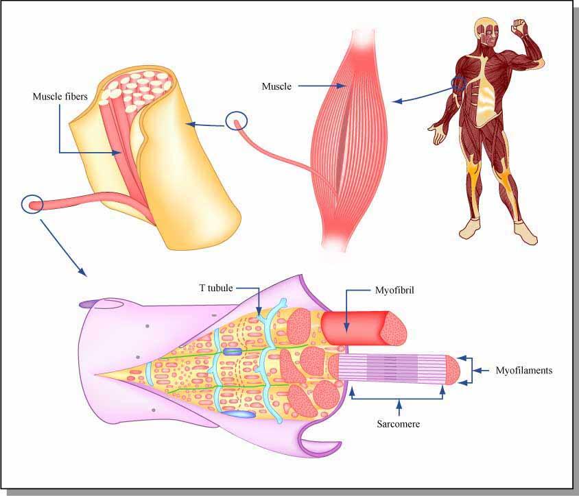 rais-data-saude-dor-muscular-tardia-dmt-fibras-musculares