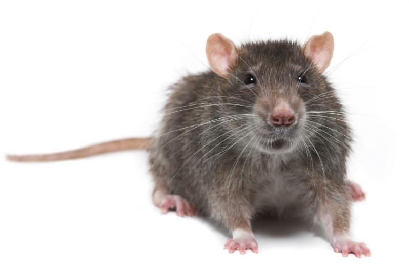 Primeiros testes foram bem sucedidos em ratos. Próximo passo é testar em humanos.